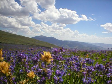 Meadow with yellow and purple flowers, Sawtooth National Forest